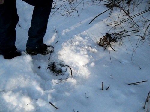 Digging in the snow for wild edible food