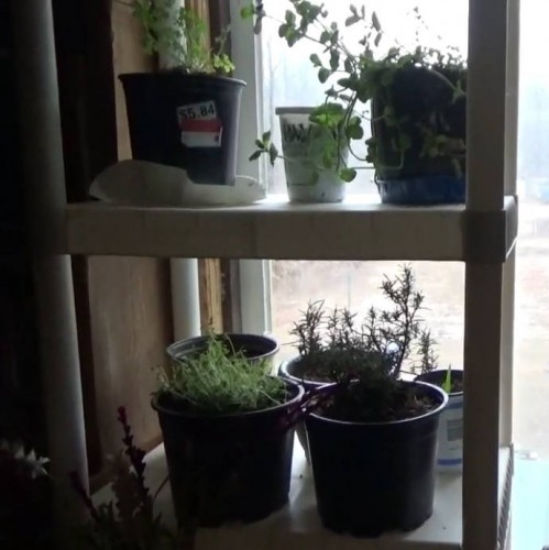 Growing plants in the window over the winter