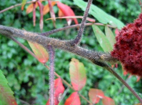 Identify the hairy branches on the Staghorn Sumac