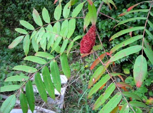 Identify The Staghorn Sumac