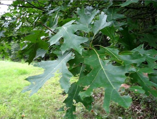 Identify The Oak Tree
